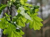 Bus sodinamas 5-tūkstantasis ąžuolo želdinių hektaras