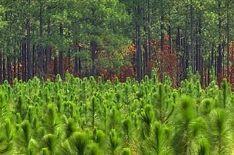 Pratęstas paraiškų priėmimo terminas dėl paramos naujiems miškams įveisti