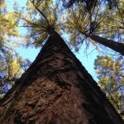 auksciausias medis Lietuvoje