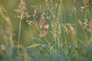 Nykstantiems paukščiams išsaugoti teikiama parama